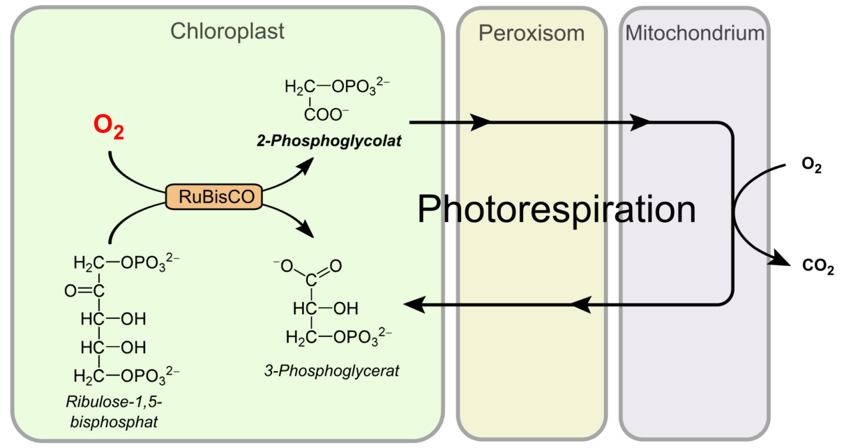 Photorespiration or C2 cycle difference in c2 cycle and dark respiration