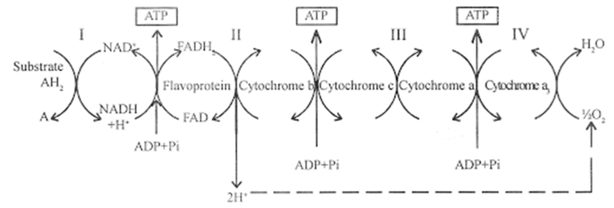 Mechanism of Respiration - Electron Transport Chain