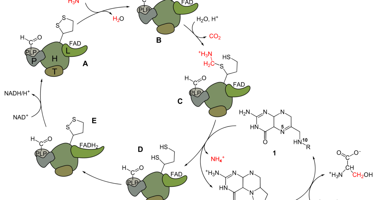 Mechanism of Respiration - Oxidative decarboxylation Krebs cycle